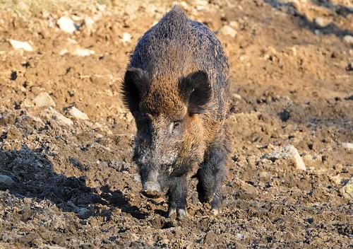 boar photo